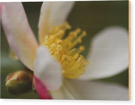 Camellia Wood Print by Jacqui Collett