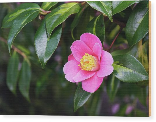 Camellia X Williamsii 'golden Spangles' Wood Print by Geoff Kidd/science Photo Library