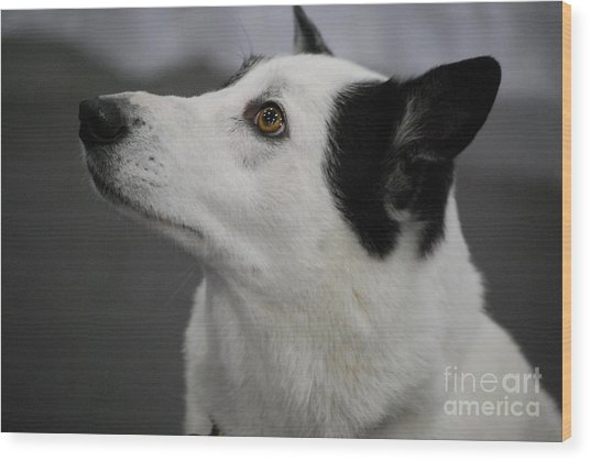 Canaan Dog Wood Print