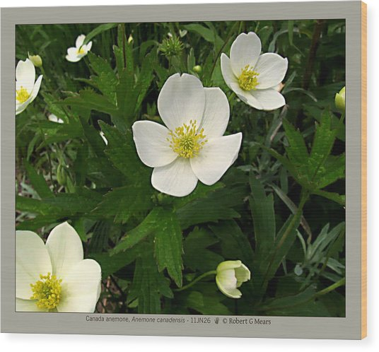 Canada Anemone - Anemone Canadensis - 11jn26 Wood Print by Robert G Mears