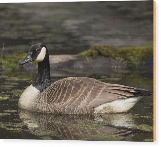 Canada Goose Wood Print by Brian Magnier