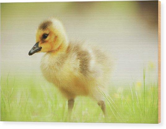 Canada Goose Gosling In May Wood Print