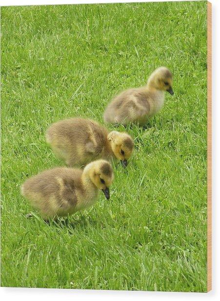 Canada Goose Goslings Wood Print