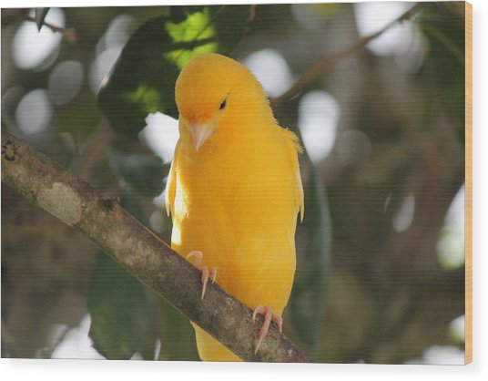 Canary Yellow Beauty Wood Print