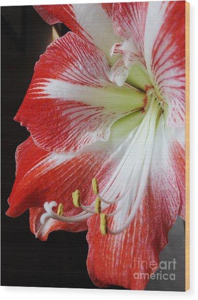 Candy Cane Amaryllis Wood Print