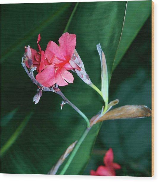 Canna Lily (canna Iridiflora X Ehemanii) Wood Print
