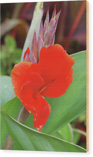 Canna Lily (canna 'president') Wood Print