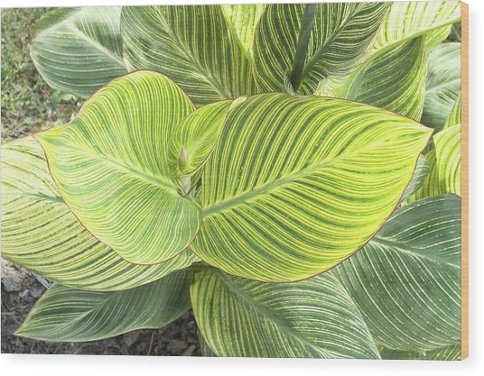 Canna Lily Leaves (canna X Generalis) Wood Print