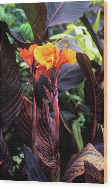 Canna Lily 'tropicanna' Wood Print