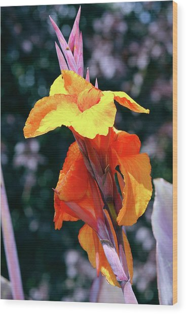 Canna Lily 'wyoming' Wood Print