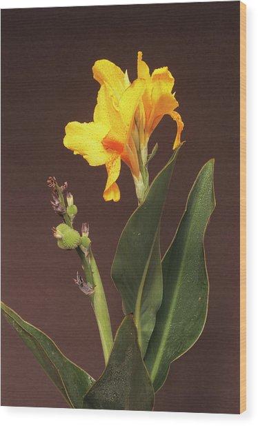 Canna Lily 'yara' Flower Wood Print