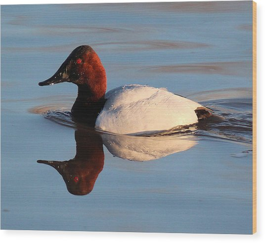 Canvasback Drake Reflection Wood Print
