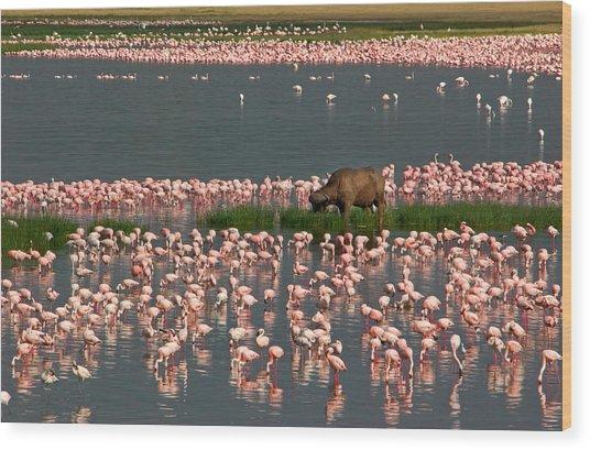 Cape Buffalo And Lesser Flamingos Wood Print