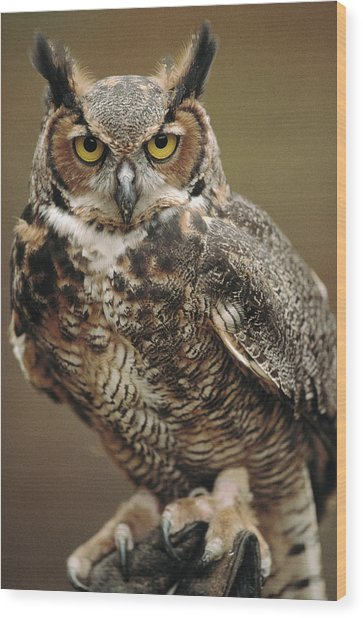 Captive Great Horned Owl, Bubo Wood Print