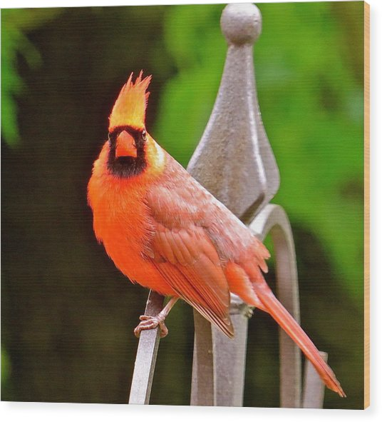 Cardinal 108 Wood Print by Patsy Pratt