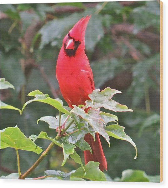 Cardinal 111 Wood Print by Patsy Pratt
