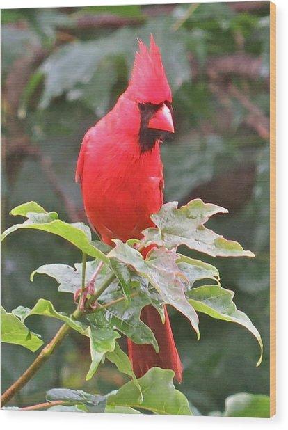 Cardinal 112 Wood Print by Patsy Pratt
