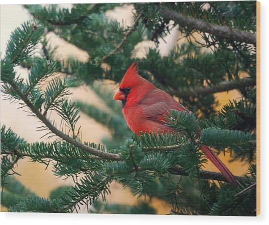 Cardinal In Balsam Wood Print