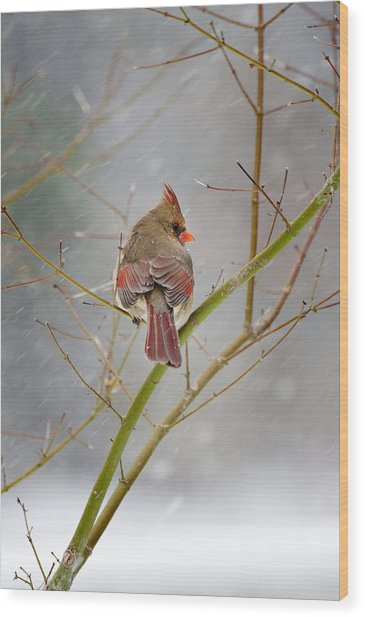 Cardinal On Maple Tree Wood Print
