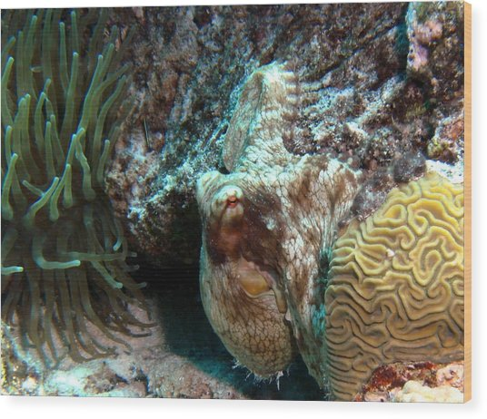 Caribbean Reef Octopus Next To Green Anemone Wood Print
