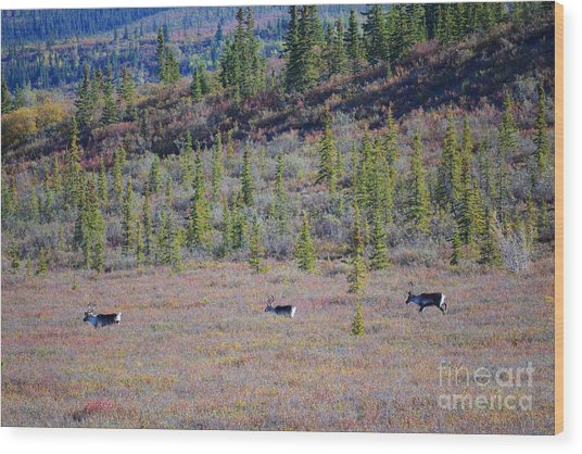 Wood Print featuring the photograph Caribou In Alaska by Kate Avery