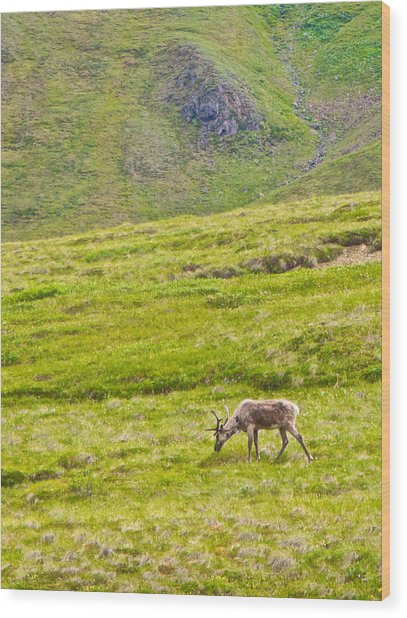 Caribou On The Tundra Of Denali Np-ak Wood Print