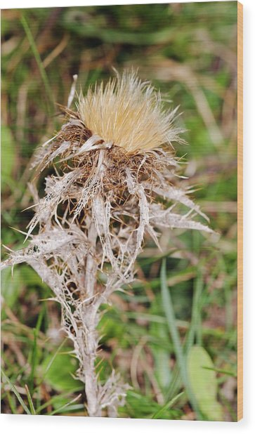 Carline Thistle (carlina Vulgaris) Wood Print