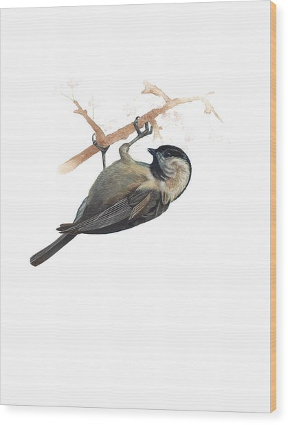 Carolina Chickadee Wood Print by Rachel Root