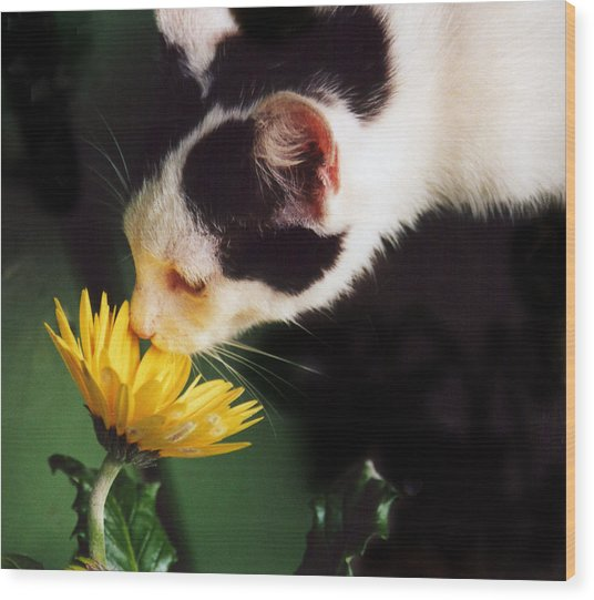 Cat Smelling Flower Wood Print