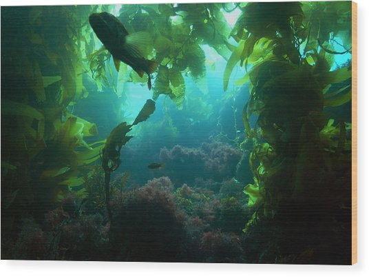 Catalina Kelp Forest Wood Print