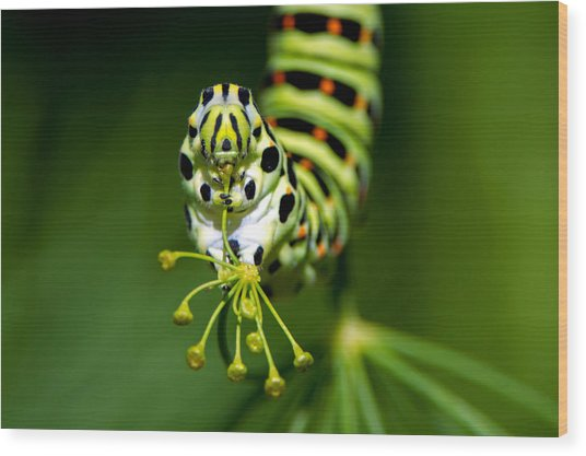 Caterpillar Of The Old World Swallowtail Wood Print