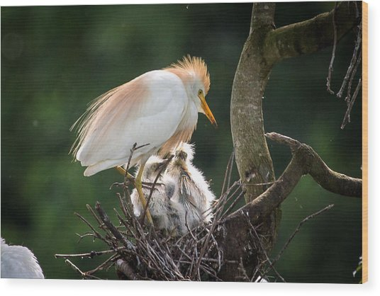 Cattle Egret Tending Her Nest Wood Print