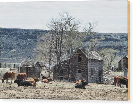 Cattle Flop House Wood Print by Ray Finch