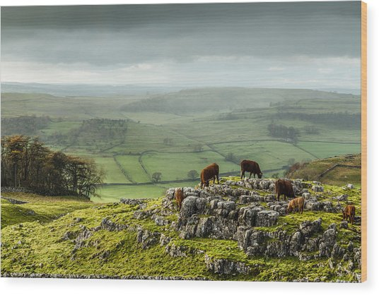 Cattle In The Yorkshire Dales Wood Print