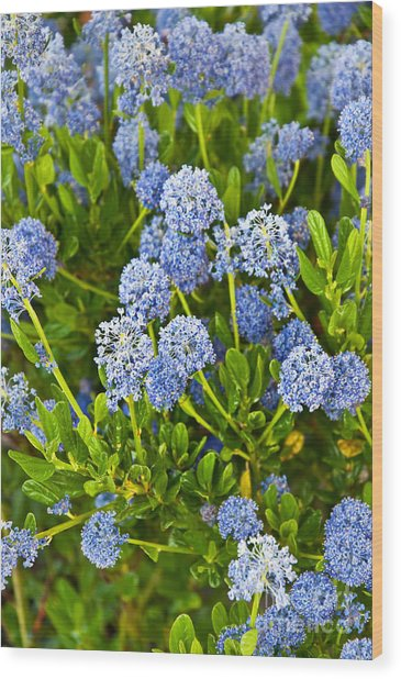 Ceanothus Impressus Santa Barbara Flowering Bush Wood Print