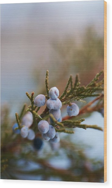 Cedar Berries Wood Print