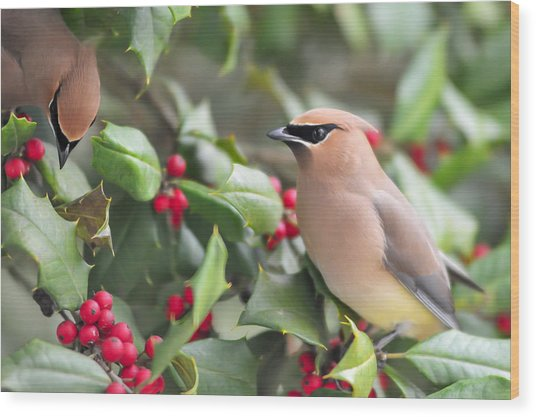 Cedar Waxwing In Holly Tree Wood Print