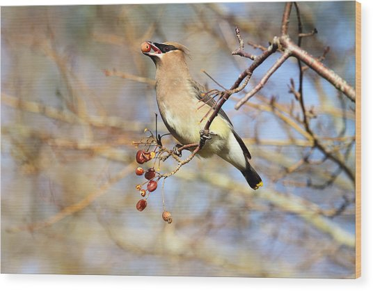 Cedar Waxwing Eating A Cherry Wood Print