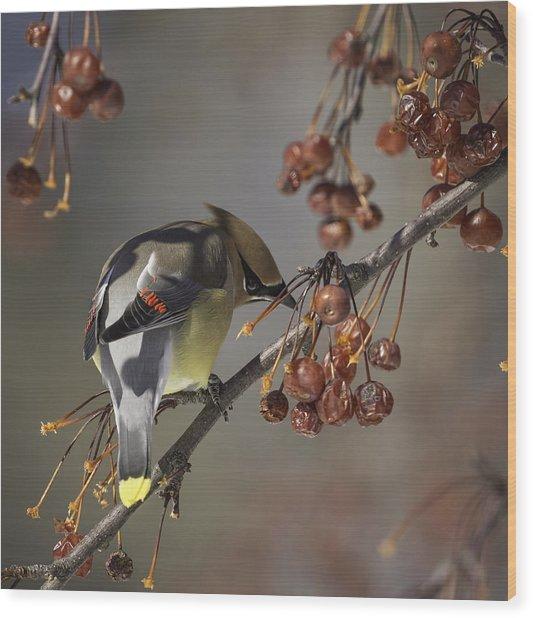 Cedar Waxwing Eating Berries 7 Wood Print