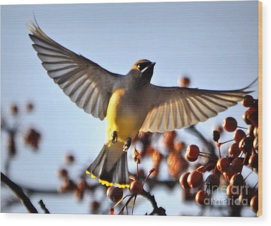 Cedar Waxwing Flight Wood Print