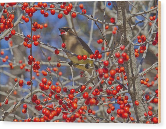 Cedar Waxwing In The Act Of Swallowing A Possumhaw Fruit Wood Print