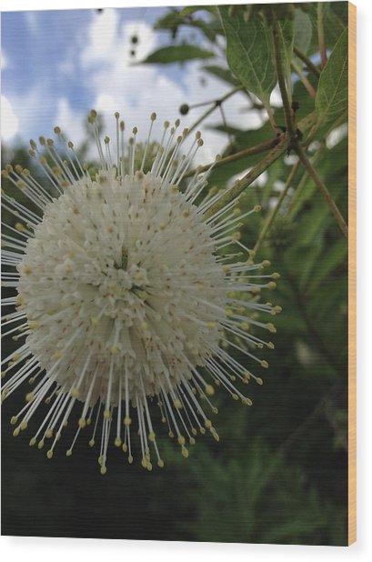 Cephalanthus Occidentalis The Button Bush  Wood Print