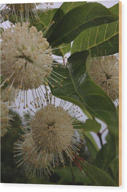 Cephalanthus Occidentals The Button Bush 2 Wood Print