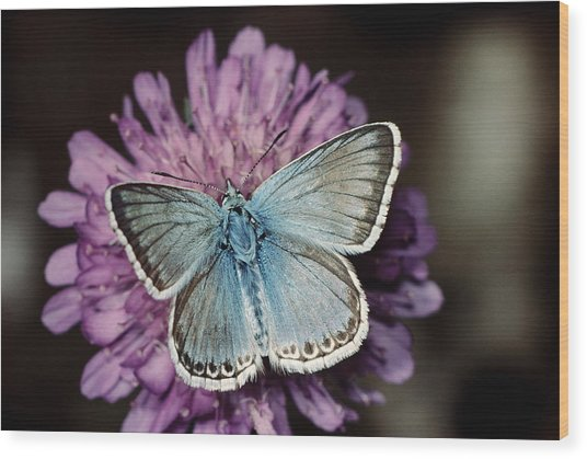 Chalkhill Blue Butterfly (lysandra Coridon), Close-up Wood Print by Alan P Barnes