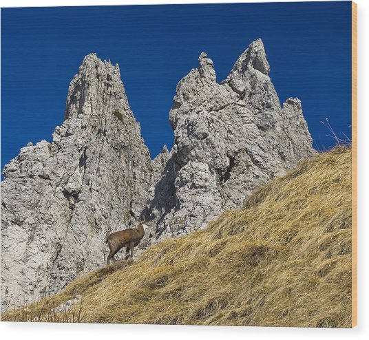 chamois in Alps Wood Print by Ioan Panaite