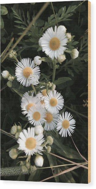 Chamomile Flowers. Wood Print