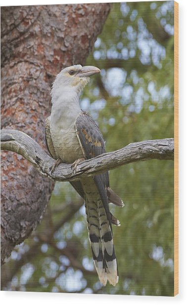 Channel-billed Cuckoo Fledgling Wood Print