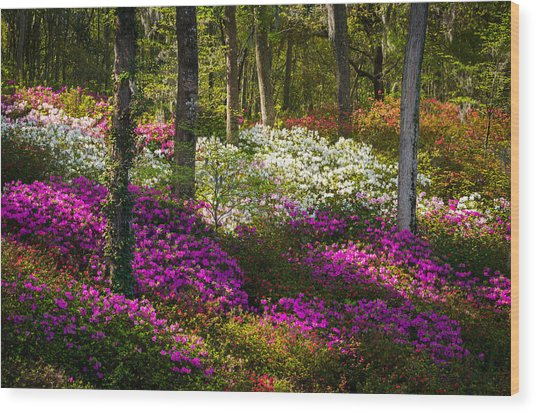 Charleston Sc Azalea Flowers And Sunlight - Fairytale Forest Wood Print