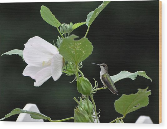 Charming Hummingbird Wood Print