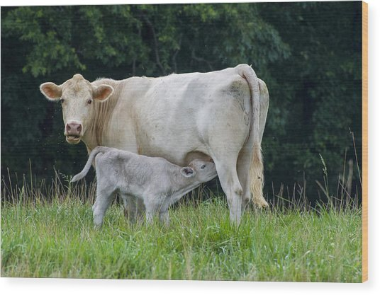 Charolais Cattle Nursing Young Wood Print
